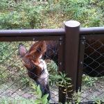 【オカピ】珍獣が走る珍しい姿@横浜市立金沢動物園