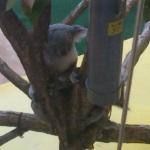 【コアラ】活発に動く2匹の可愛いコアラ。チューしたり他の木に飛び移ったり@金沢動物園