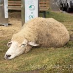 六甲山牧場は自由気ままな羊に癒されて、エサやり色々楽しいよ。