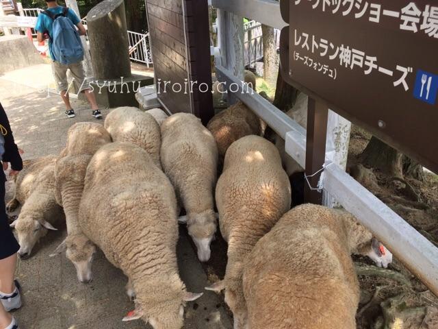 六甲山牧場羊