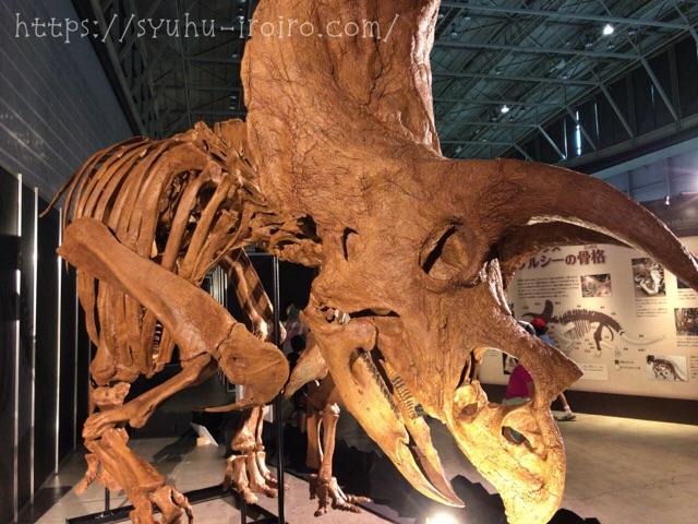 トリケラトプス ケルシー骨格