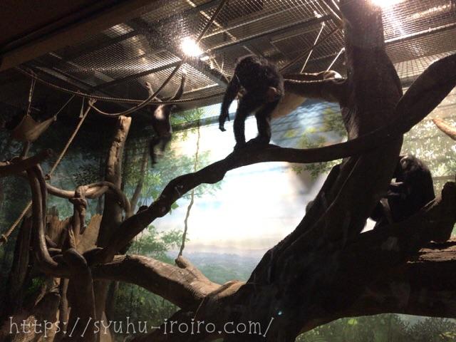 夜の動物園チンパンジー