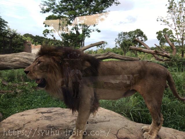 ライオン吠える