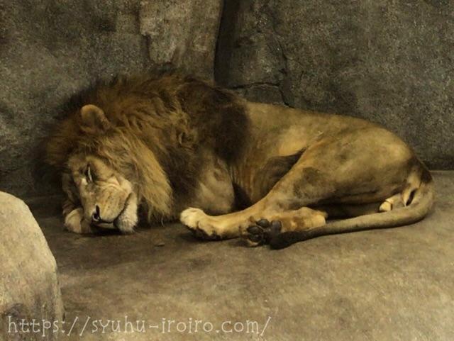 寝るライオン